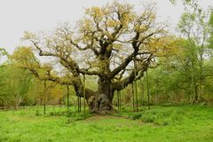 Belangrijke eiken Gen; Quercus Royalty-vrije Stock Afbeelding