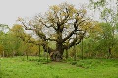 Belangrijke eiken Gen; Quercus Royalty-vrije Stock Foto