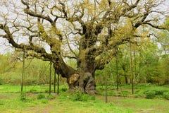 Belangrijke eiken Gen; Quercus Royalty-vrije Stock Afbeeldingen