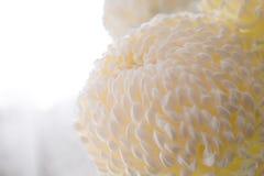 Belangrijke witte bloem van een chrysant. Royalty-vrije Stock Fotografie