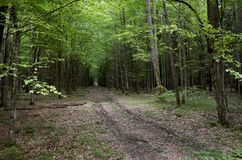 belarus Árvores no território de Belovezhskaya Pushcha 23 de maio de 2017 fotografia de stock royalty free