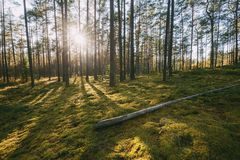 Belarus. Beautiful Sunset Sun Sunshine In Sunny Summer Coniferous Forest. Sunlight Sunrays Shine Through Woods In Forest. Landscape stock video