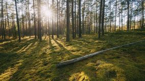 Belarus. Beautiful Sunset Sun Sunshine In Sunny Summer Coniferous Forest. Sunlight Sunrays Shine Through Woods In Forest. Landscape stock video footage