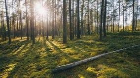 belarus Bello sole di Sun di tramonto nel lustro dei raggi di sole di Sunny Summer Coniferous Forest Sunlight attraverso il legno archivi video