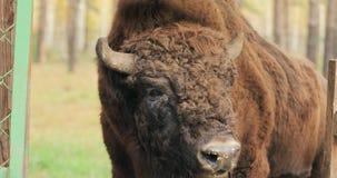 belarus Europeo Bison Or Bison Bonasus, también conocido como bisonte europeo o el otoño de madera europeo de Bison Grazing Near  metrajes