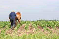 Belarus farmer. Farmer at work, plowing the potato field rows, june, Belarus stock images