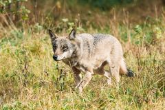 belarus Forest Eurasian Wolf - Canis Lupus Running In Natural E image stock