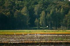 belarus Grande Egrets dos pássaros selvagens ou Ardea Alba Nest In Swamp On foto de stock royalty free