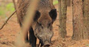 belarus Jabalí o Sus Scrofa, también conocido como los cerdos salvajes, aire salvaje eurasiático de las aspiraciones del cerdo en metrajes
