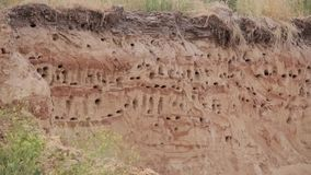belarus Le sable européen Martin Active Breeding Colony Near Burrows dans le Riparia de Riparia de côte de rivière de sable est u clips vidéos