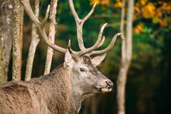 Belarus. Male European Red Deer Or Cervus Elaphus In Autumn Fore. St. Close Up royalty free stock images