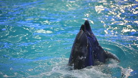 BELARUS, MINSK - 2014: Dolphins show in the dolphinarium stock video footage