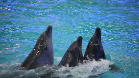 BELARUS, MINSK - 2014: Dolphins show in the dolphinarium stock video