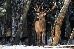 belarus Paisagem dos animais selvagens do inverno com o grande elaphus nobre do Cervus dos cervos Cervos magníficos em The Edge d Foto de Stock