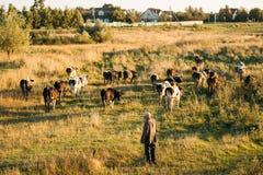 belarus Prato di verde di Herding Cows In del pastore nella sera di estate Fotografie Stock Libere da Diritti
