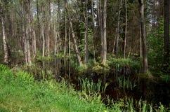 belarus Região pantanosa em Belovezhskaya Pushcha 23 de maio de 2017 fotografia de stock