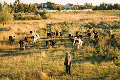 Belarus. Shepherd Herding Cows In Green Meadow In Summer Evening Royalty Free Stock Photos