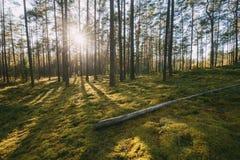 belarus Sol hermosa de Sun de la puesta del sol en brillo de los rayos solares de Sunny Summer Coniferous Forest Sunlight a travé almacen de video