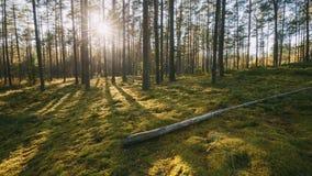 belarus Sol hermosa de Sun de la puesta del sol en brillo de los rayos solares de Sunny Summer Coniferous Forest Sunlight a travé almacen de metraje de vídeo