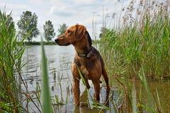 Belarusian hound Royalty Free Stock Photos