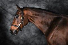 Belas artes do cavalo de baía imagem de stock