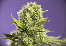 Belastning för marijuana för royale för cannabiscolakrona med synliga hår Royaltyfria Bilder