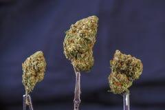Belastning för tangie för cannabisknoppar som sur isoleras på svart bakgrund Royaltyfria Foton