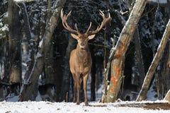 belatedness Τοπίο χειμερινής άγριας φύσης με το ευγενές elaphus Cervus ελαφιών Τα ελάφια με μεγάλο διακλαδίστηκαν κέρατα στο υπόβ Στοκ Εικόνες