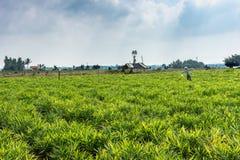 Ginger field in Belathur Karnataka India.