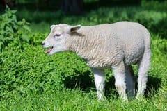 Belato dell'agnello e madre bianchi di chiamata in prato Fotografia Stock