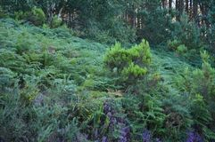 Belaubter Eukalyptus Forest In The Mountains Of Galizien Reise-Landschaft botanisch lizenzfreie stockfotografie