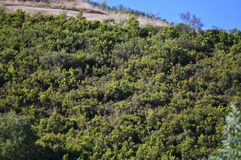 Belaubter Eukalyptus Forest In The Mountains Of Galizien Reise-Landschaft botanisch lizenzfreies stockfoto