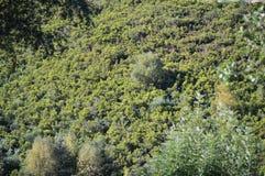 Belaubter Eukalyptus Forest In The Mountains Of Galizien Reise-Landschaft botanisch lizenzfreie stockbilder