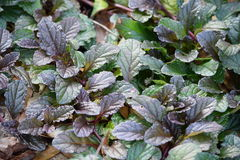 Belaubter Osaka Purple Mustard Greens Lizenzfreies Stockfoto