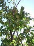 Belaubter Pflaumenbaum Grean Stockbilder