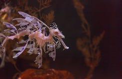 Belaubtes seadragon, Phycodurus-eques Lizenzfreie Stockfotos