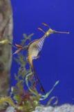 Belaubtes Seadragon Unterwasser stockfotografie