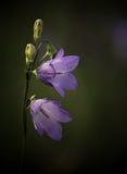 Belces púrpuras Fotos de archivo