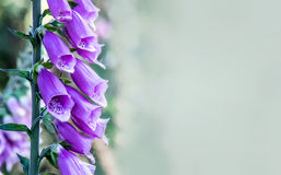 Belces púrpuras Foto de archivo libre de regalías