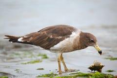 Belcher& x27; la s Gull il cibo del granchio sulla spiaggia della baia di Paracas, Perù fotografia stock