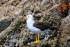 Belcher's Gull in Ballestas islands Reserve in Peru Royalty Free Stock Images
