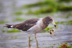 Belcher's Gull eating crab on the beach of Paracas Bay, Peru Stock Photos