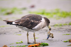 Belcher's Gull eating crab on the beach of Paracas Bay, Peru Stock Photography