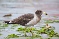 Belcher's Gull eating crab on the beach of Paracas Bay, Peru Stock Images