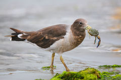 Belcher's Gull eating crab on the beach of Paracas Bay, Peru Stock Photo