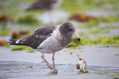 Belcher's Gull eating crab on the beach of Paracas Bay, Peru Stock Image