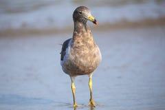 Belcher's Gull (Larus belcheri) on the beach of Paracas Bay, Per. U. Paracas Bay is well known for its abundant wildlife Stock Photo