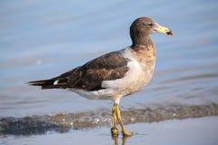 Belcher's Gull (Larus belcheri) on the beach of Paracas Bay, Per. U. Paracas Bay is well known for its abundant wildlife Stock Image