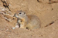 Belding's Ground Squirrel Royalty Free Stock Image