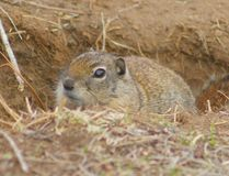 Belding's Ground Squirrel Stock Image